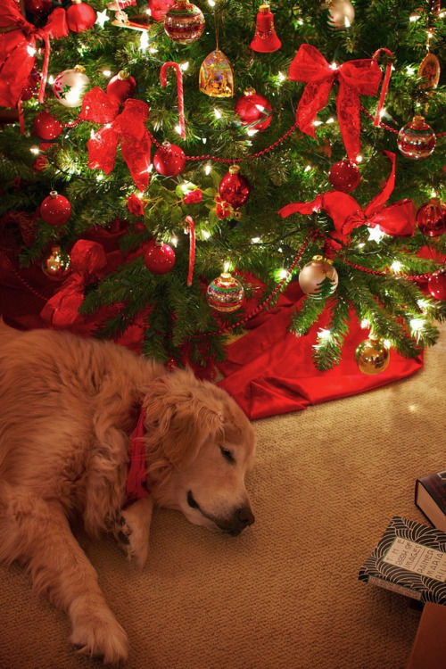 Cute Dog Sleeping By The Christmas Tree Pictures Photos