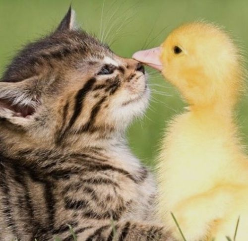 Kitty And Ducky