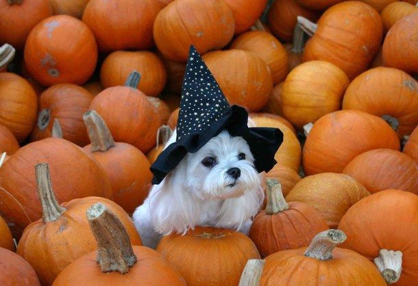 Witchy doggy at the pumpkin patch