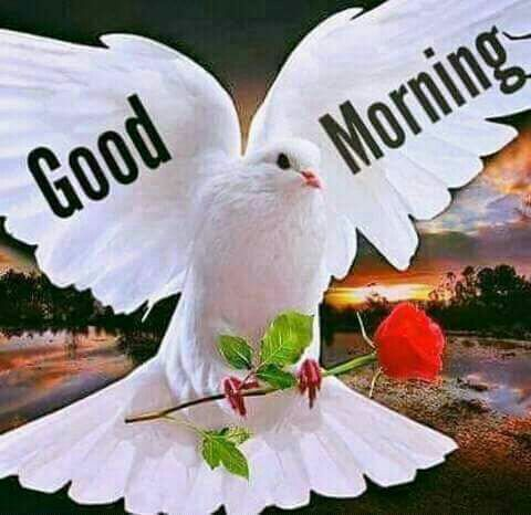 Dove Holding Rose Good Morning Quote Pictures Photos And