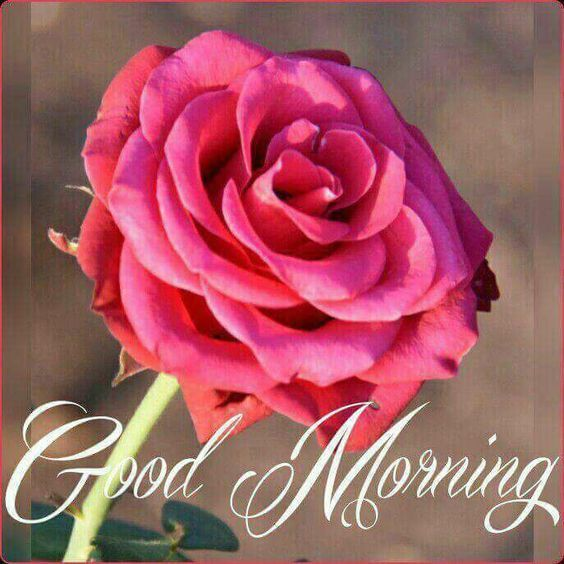 full pink rose good morning pictures photos and images