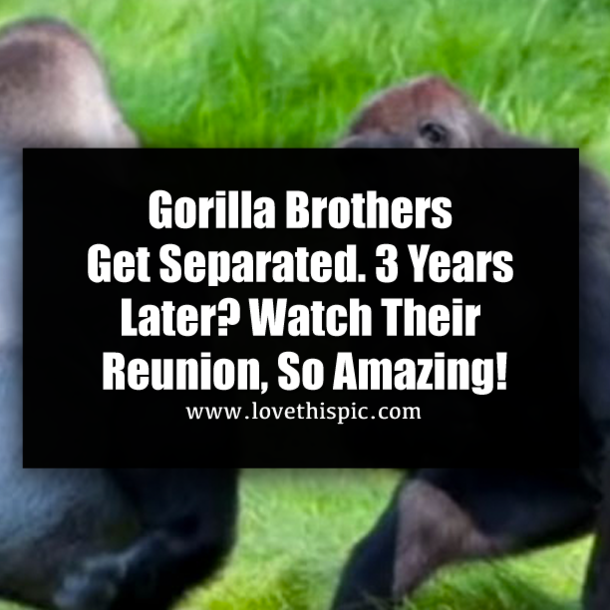 So Amazing: Gorilla Brothers Get Separated. 3 Years Later? Watch Their