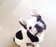 French Bulldog Pictures, Photos, Images, and Pics for ...