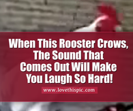 Rebecca Crow Gif Rooster Pictures, Phot...